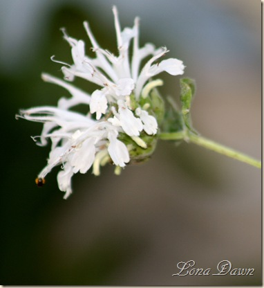 Monarda_White2