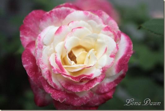 Rose_DD