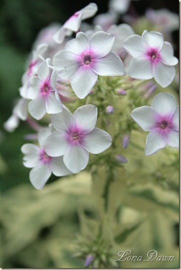Phlox_NoraLeigh2_July17