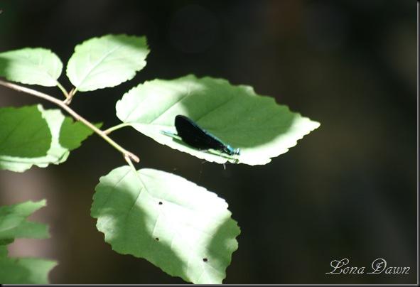 OMC_BlueDragonfly2