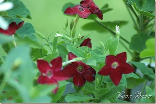 Nicotiana_Red_July15