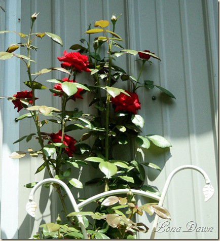 Rose_Crimson_July30