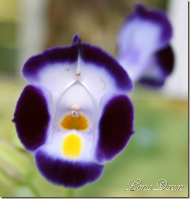 Torenia_Blue_July27