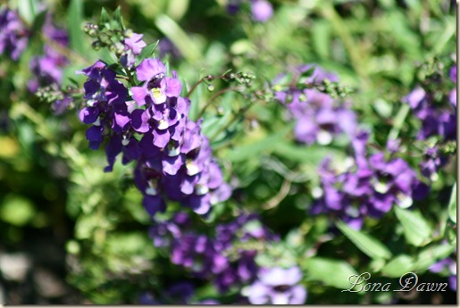 FPC_Angelonia_SummerSnapdragonSpreading_Aug18