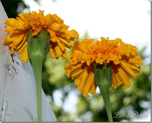 Marigolds3