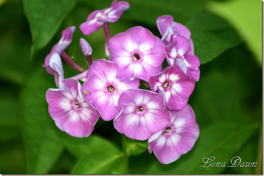 Laura_Phlox_Aug13