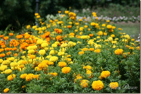 FPC_Marigolds_Aug18