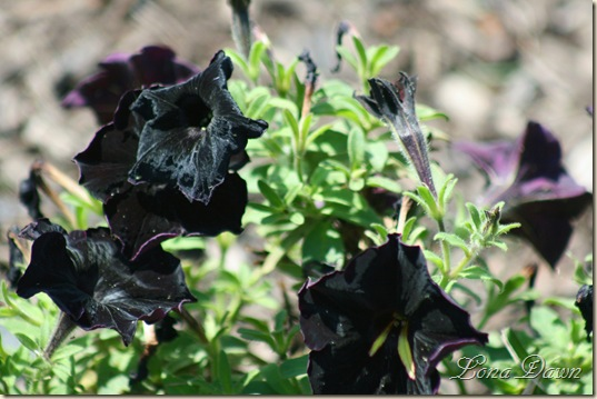 FPC_BlackVelvetPetunia_Aug18
