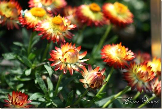 FPC_OrangeBracteanthaStrawflower