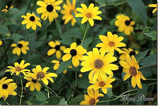 CC_BEyedSusans_WoodlandSunflowers