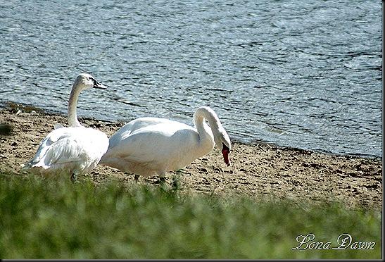 LL_TrumpeterSwan_Swan_Beach