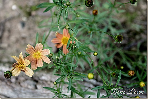 Coreopsis_SiennaSunset