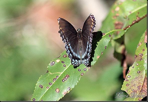 RNP_Butterfly4