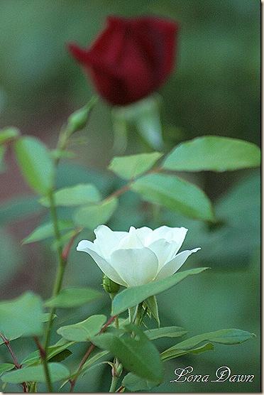 Rose_Finale
