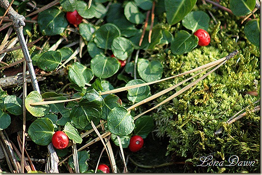Fall2_Berries_PineNeedles