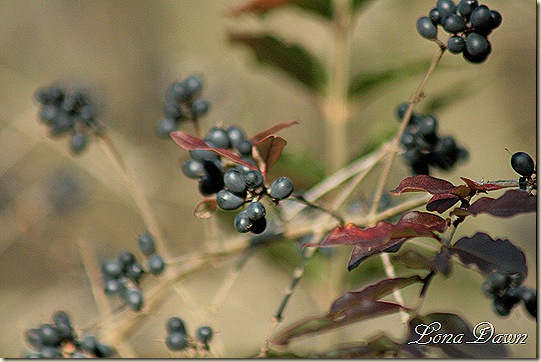 Fall2_BBerries