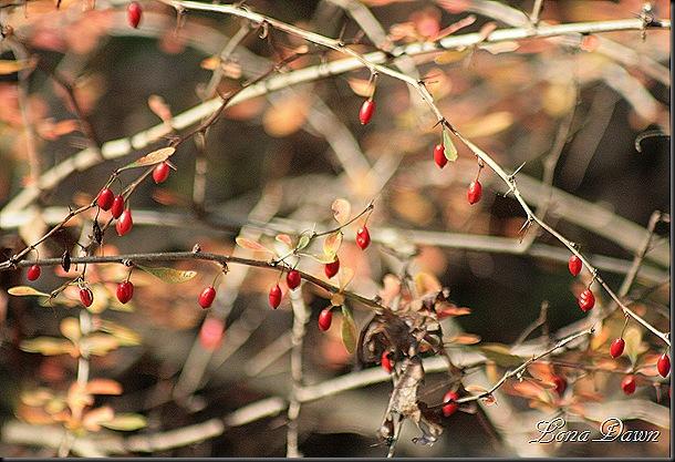 Fall_Berries