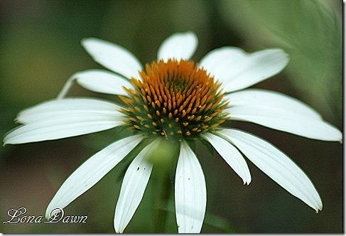 Echinacea_LuckyStar2
