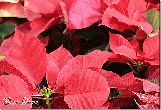 Poinsettia_Red_Dec2