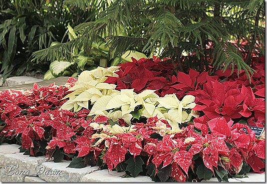 Poinsettias2_Dec2