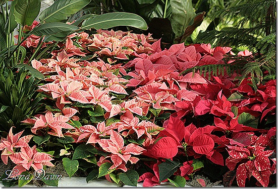 Poinsettias_Dec2
