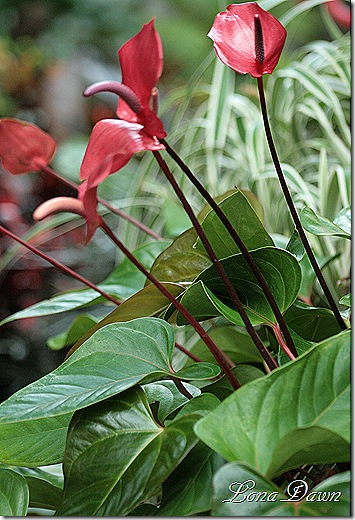 Anthurium_Red_Dec2