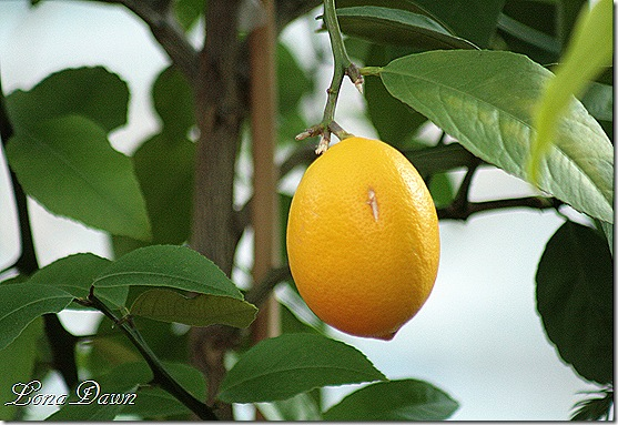 LemonTree2_Dec2