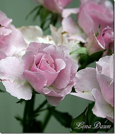 Rose_LavenderSimplicity2_June28