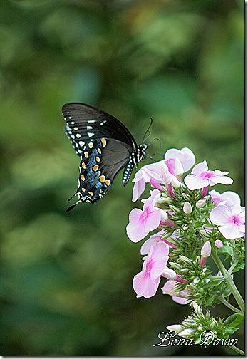 BrightEyes_Swallowtail