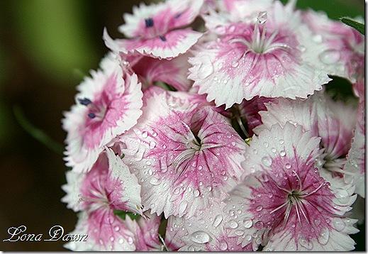 Phlox_Sprinkles