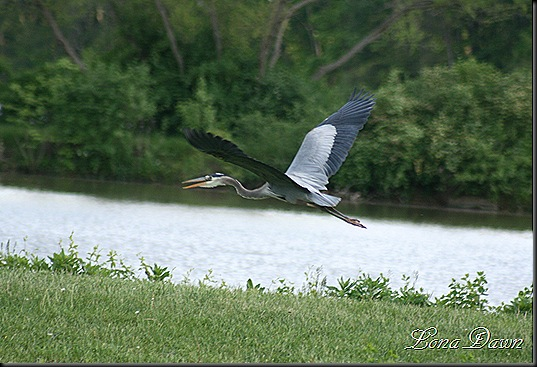 LL_GreatBlueHerron_Flight