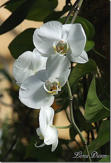 FPC_White_Orchids