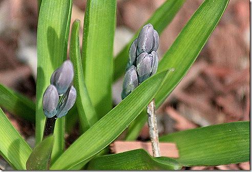 Hyacinths_2011