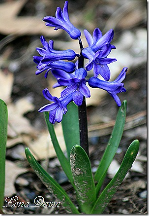 Hyacinth_Blue
