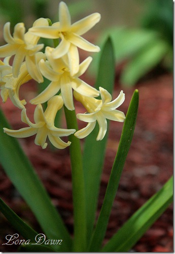 Squill_orScillia_YellowStriped