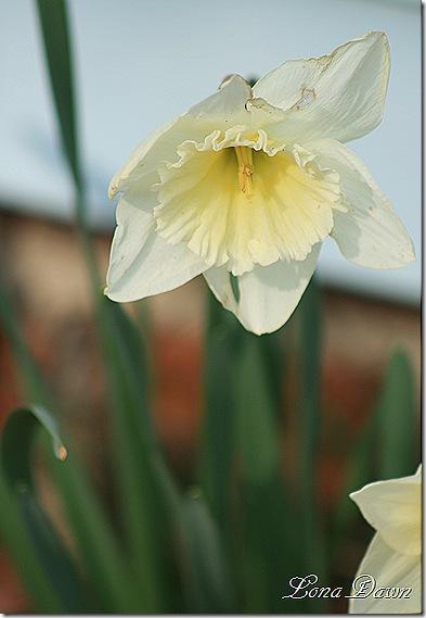 Daffodil_White