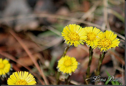 OMC_Coltsfoot3
