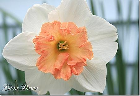 Daffodil_Pinkruffle
