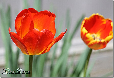 Tulip_CM2_Orange