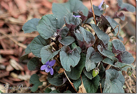 Violet_Labrador2_April23