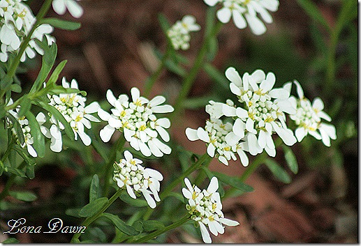 CandyTuft_Apr27