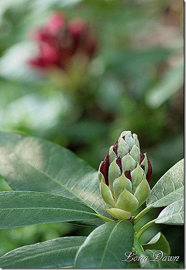 Rhododendron_NovaZemblaBud3
