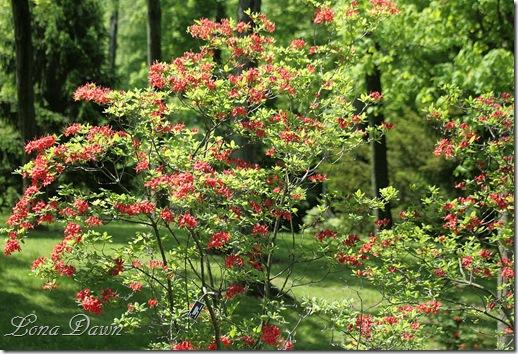 DA_Rhododendron_Garden
