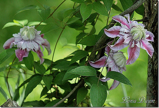 Clematis_Josephine_May22