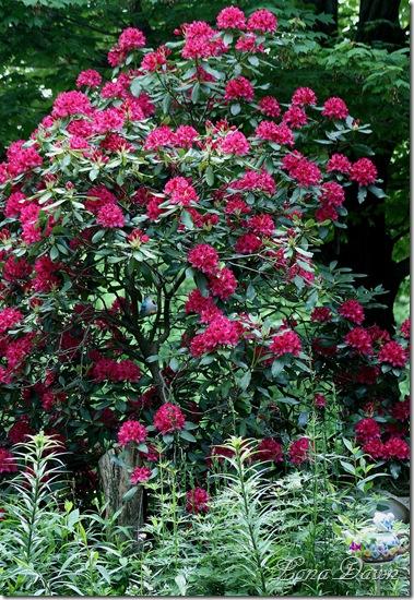 Rhododendron_NovaZemba3_May22