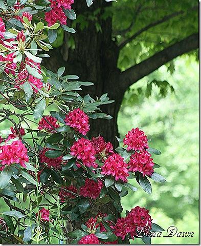 Rhododendron_NovaZemba2_May22