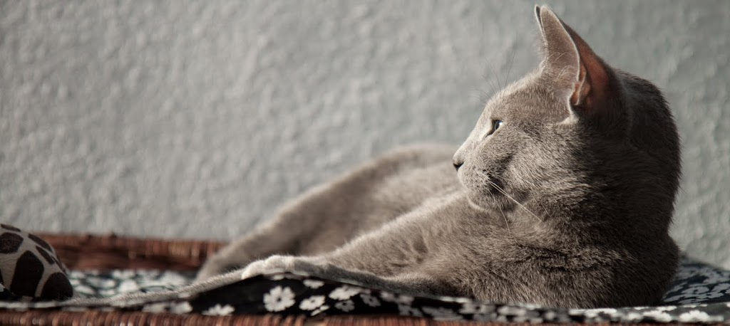 My holiday (Russian Blue photos) Katten-7396