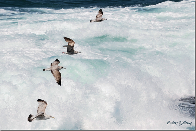 gulls above foaming sea