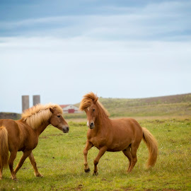 Horse Play by Marriela Durandegui - Animals Horses ( pasture, iceland, equine, landscape )