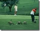 golf course geese